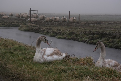 Swans and sheeps