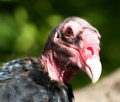 turkey(0.0), water bird(0.0), phasianidae(0.0), animal(1.0), vulture(1.0), fauna(1.0), close-up(1.0), fowl(1.0), wild turkey(1.0), beak(1.0), bird(1.0), galliformes(1.0), wildlife(1.0),