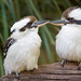 Two Kookaburras on Branch+