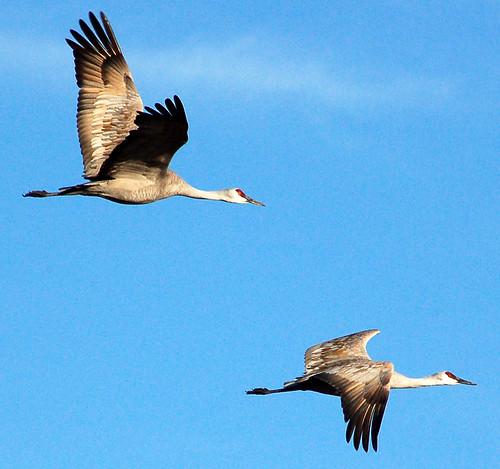 ilovenature nebraska searchthebest fv5 fv10 migration 70300mmf456g sandhillcranes sandhillcrane platteriver flowrbx gruscanadensis specnature 25faves 30faves30comments300views cranes2006 migration2006