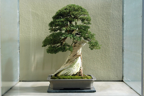Chinese Juniper, grafted on Sierra Juniper Bonsai