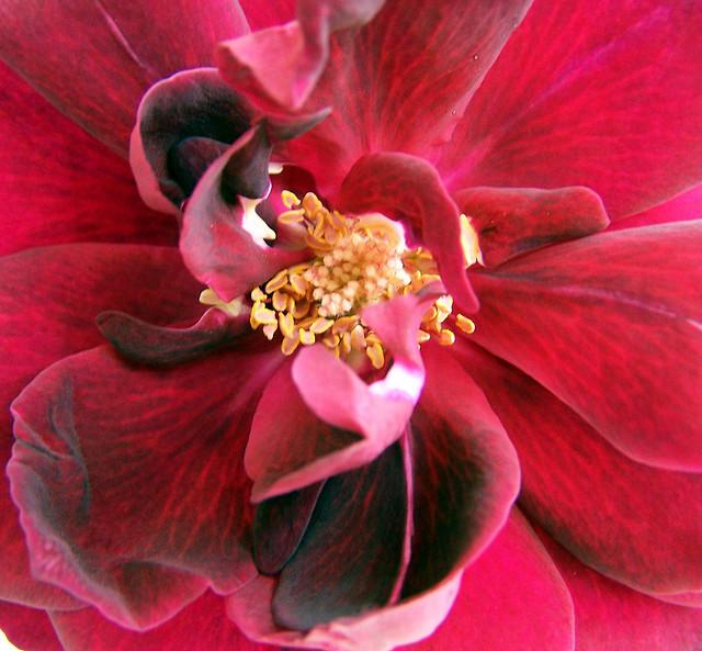 Dark Velvet Rose