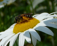 nectar(0.0), pollinator(1.0), animal(1.0), honey bee(1.0), pollen(1.0), flower(1.0), plant(1.0), invertebrate(1.0), macro photography(1.0), membrane-winged insect(1.0), flora(1.0), fauna(1.0), oxeye daisy(1.0), close-up(1.0), bee(1.0), bumblebee(1.0), petal(1.0),
