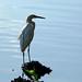 Tampico, garza, Laguna del Carpintero. por helicongus