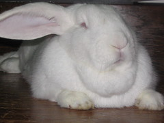 nose(1.0), animal(1.0), rabbit(1.0), domestic rabbit(1.0), pet(1.0), angora rabbit(1.0), whiskers(1.0), rabits and hares(1.0),