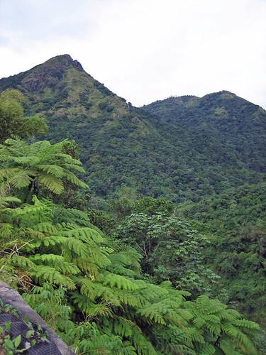2005 paisajes mountain fern tree helecho puerto landscapes puertorico rico sd400 cerro adjuntas utuado palmilla hormiga arborea pellejas oquendo cyathea capaez yagrumo antillas revistadealtura