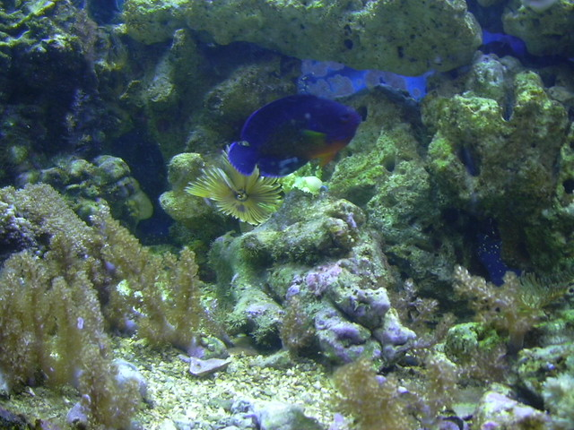 Feather Duster Worm Baby Coral beauty with feat...