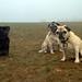 Pugs in the Fog by Finstr