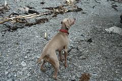 puppy(0.0), street dog(0.0), vizsla(0.0), animal(1.0), dog(1.0), pet(1.0), mammal(1.0), weimaraner(1.0),