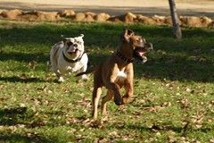 Crazy dogs playing