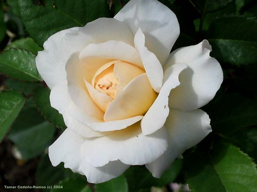 White Rose Bloom