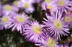 aster, annual plant, flower, plant, wildflower, flora, ice plant, petal,