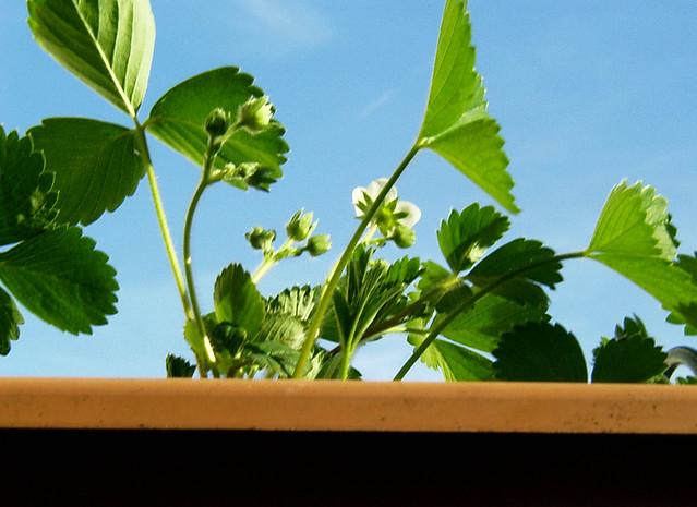 erdbeeren erdbeeren auf meinem balkon 2006 by karamellzucker flickr photo sharing. Black Bedroom Furniture Sets. Home Design Ideas
