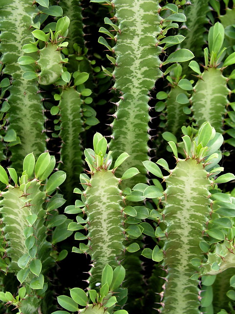 Euphorbia cactus kwekerij  Honselersdijk