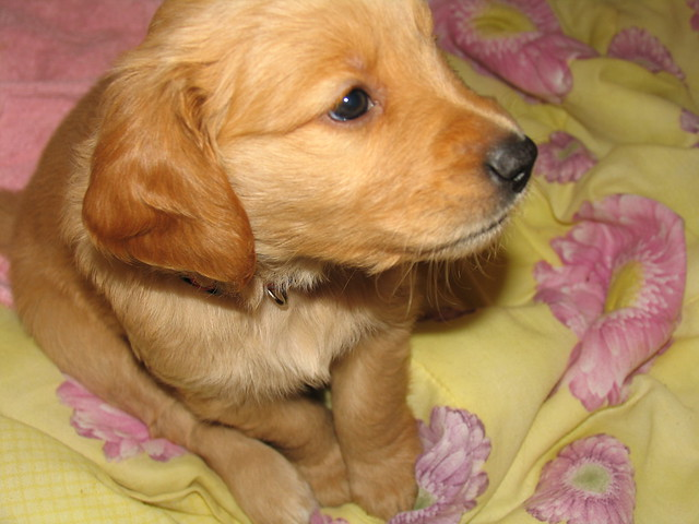 Spice (Golden Retriever Puppy)