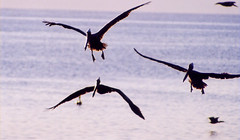 animal migration, animal, wing, fauna, bird migration, bird, flight, wildlife,