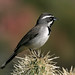 Black-throated Sparrow - Photo (c) Patrick Coin, some rights reserved (CC BY-NC-SA)