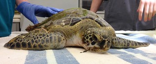 Mahi Arrives at the Georgia Sea Turtle Center