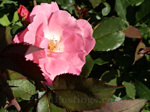 pink knockout 'radcon' shrub rose