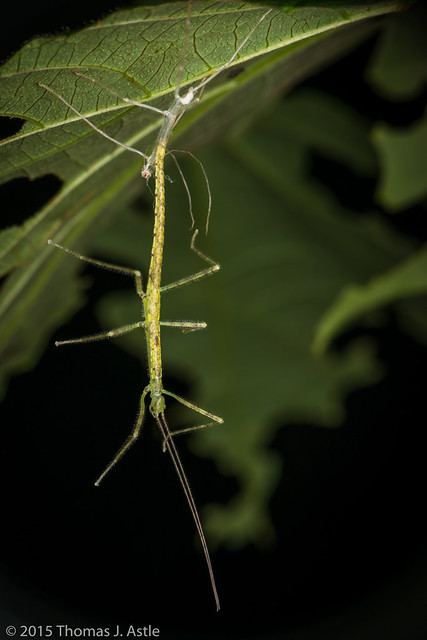 Stick insect moulting (Phasmatodea)