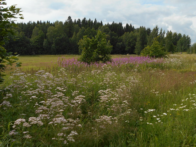Niittykasveja 20.7.2015 B Espoon Leppävaara, vanhan Turuntien varsi
