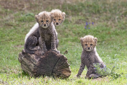 peaugrees+bébés+guépards