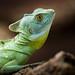 Green Basilisk by Jasper Gielen