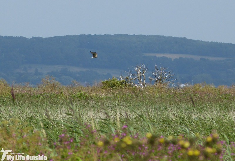 P1150107_2 - Montagu's Harrier, Blacktoft Sands