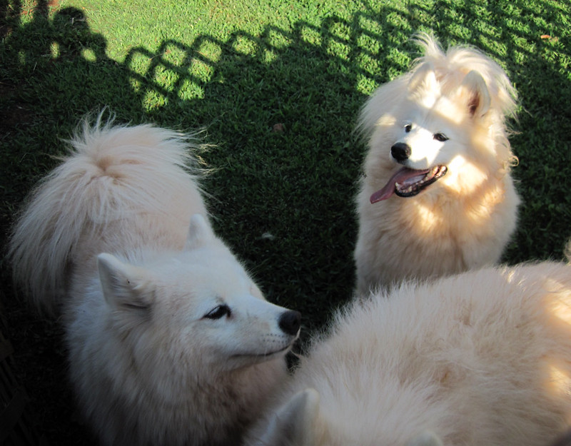 3 white Samoyed dogs on a lawn