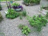 Volunteers: Lupines, thyme, and chives