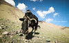 Miss Cow, Rumbak's valley, Ladakh, India by monsieur I