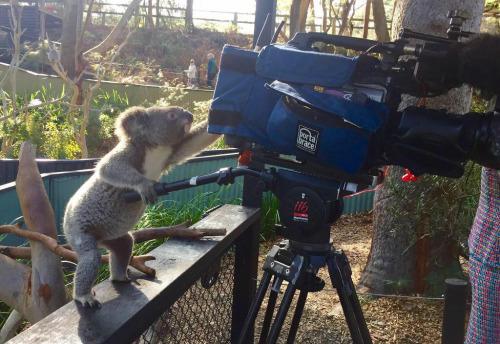 imagen graciosa de koala con una cámara