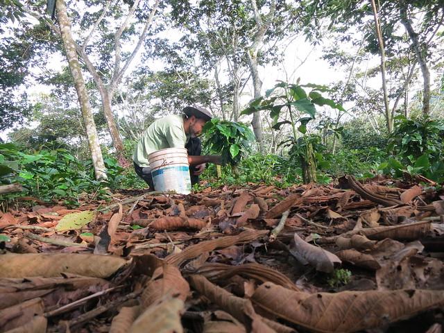 Chuponeando cafe organico (certificado RFA)