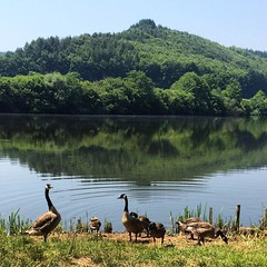 Si mignon #Baerenthal #animaux #nature #oie #Randonnée #etang
