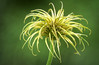 Clematis seedhead