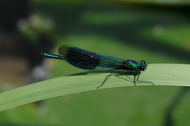 IMGP9611 Banded Demoiselle, Paxton Pits, July 2015