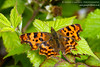 Wexford Insects - Comma (Polygonia c-album) by gcampbellphoto