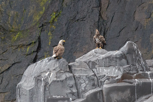 Two eagles / 知床のワシ