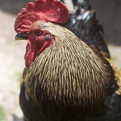 animal, chicken, rooster, poultry, fauna, close-up, comb, fowl, beak, bird, galliformes,