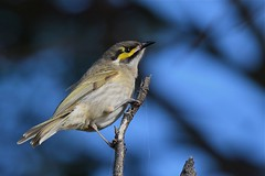 Yellow -faced Honeyeater