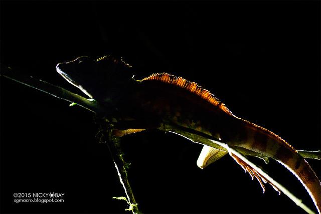 Great anglehead lizard (Gonocephalus grandis) - DSC_5698