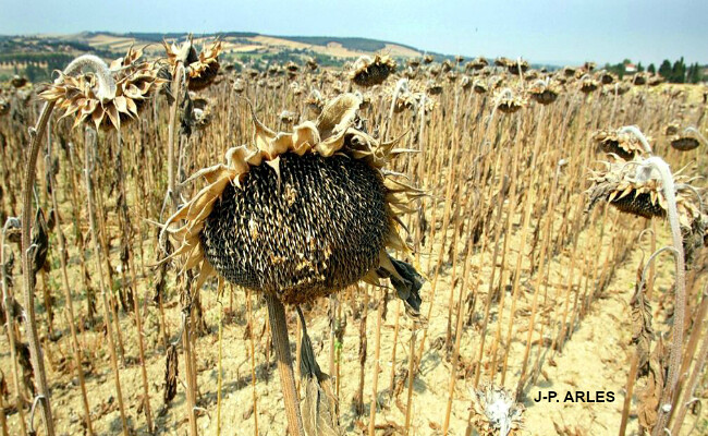 tournesols grillés lors de la sécheresse et de la canicule de l'été 2003 météopassion