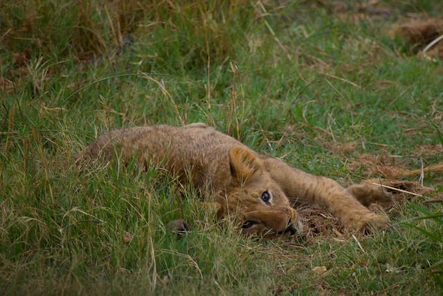 Silly cub