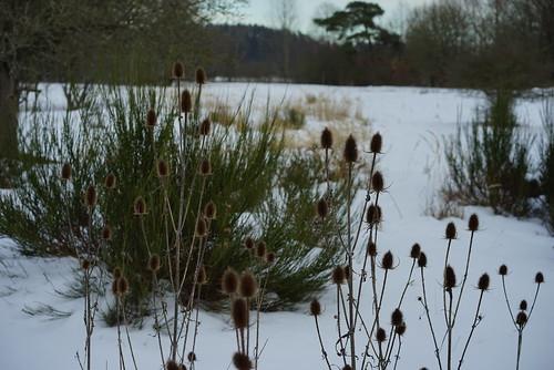 Disteln im Winter