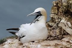 Gannets (Sulidae)