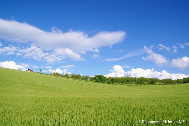 サクランボ園と麦畑