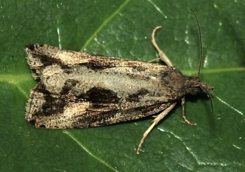 Moth 1574