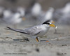Least Tern by AndrewWood15101