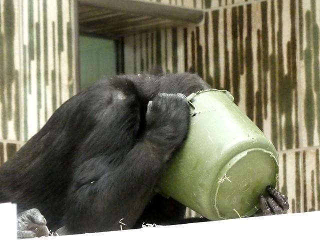 Gorilla, Tiergarten Nürnberg