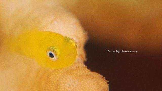 いつ見てもカワイイ、アカネダルマハゼ幼魚